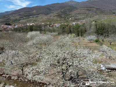 Cerezos en flor en el Valle del Jerte - asociación senderismo madrid;madroño patones torrelaguna